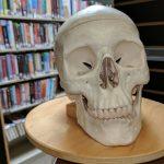 Skull model - Discover Health exhibit