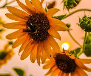 Garden Sunflowers