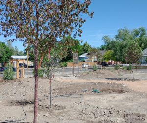 Young trees freshly planted in soil of the Discovery Garden